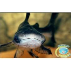 Акулий-сом