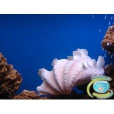 Океаническая раковина «Сквамоза»